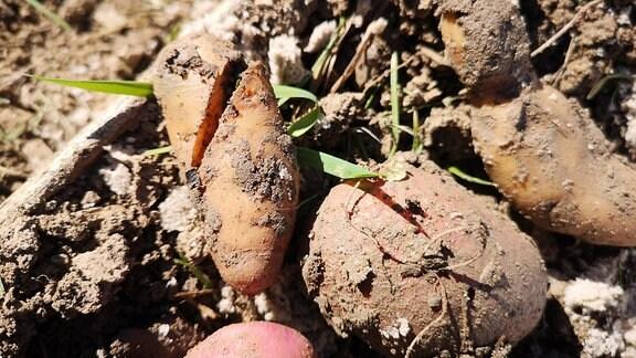 Kartoffeln mit Rissen und Schadstellen liegen auf einem Beet.