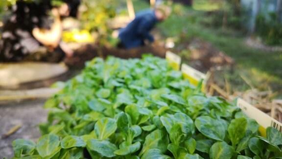 Viele Jungpflanzen Feldsalat in einer Pflanzschale. Im Hintergrund arbeitet ein Mann in einem Garten.