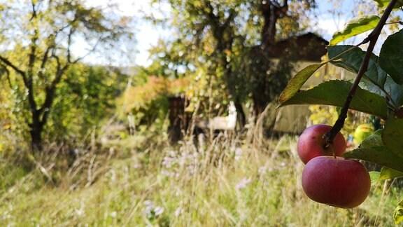Äpfel hängen an einem Ast, Blick in den Garten im Hintergrund.