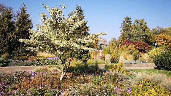 Baum mit Herbstlaub in einem Park. Der Baum ist mit Stauden unterpflanzt.