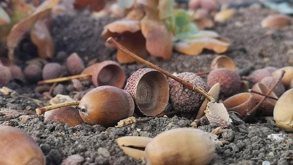 Viele Eicheln liegen auf dem Boden.