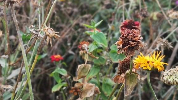 Verblühte Wildblumenwiese.