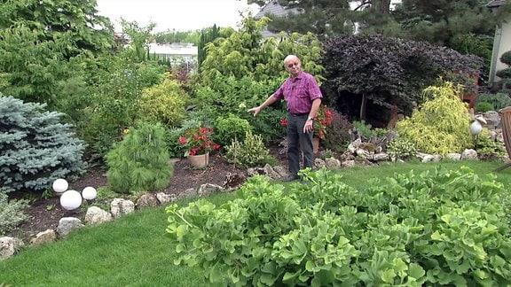 Mann zeigt auf Ginkgo Baum im Garten