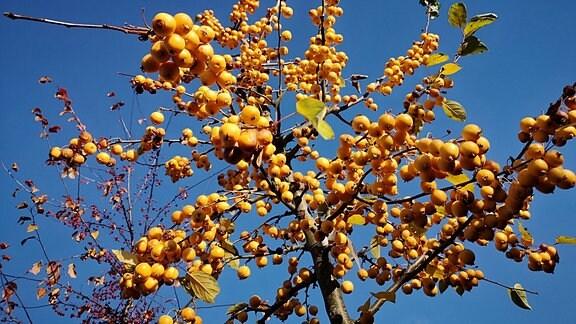 Gelbe Zieräpfel in einer Baumkrone