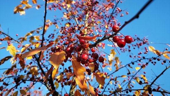 Rote Zieräpfel in einer Baumkrone