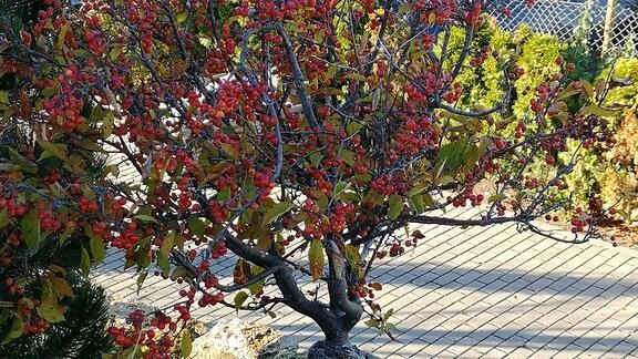 Klein gewachsener Zierapfelbaum