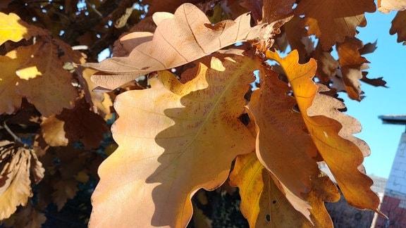 Braune Blätter der Zwergkaisereiche