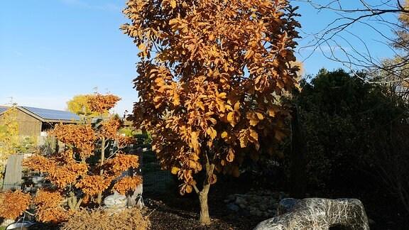 Baum Zwergkaisereiche steht in einem Garten und hat viele braune Blätter.