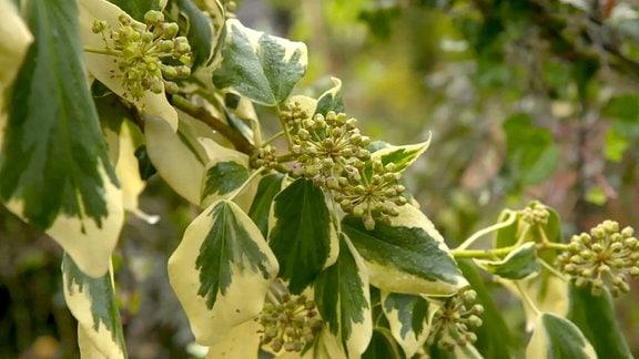 Efeuranke mit Blüten