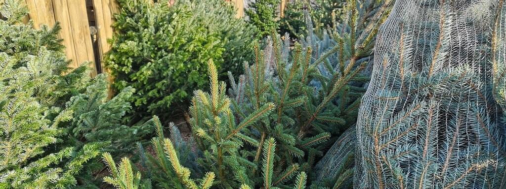 Echte Tannenbaum Kaufen.Weihnachtsbaum Kaufen Das Müssen Sie Wissen Mdr De