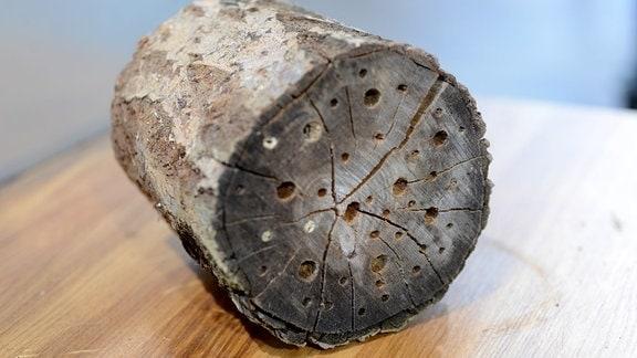Der Stamm eines Baumes ist auf der Stirnseite mit Löchern durchbohrt.