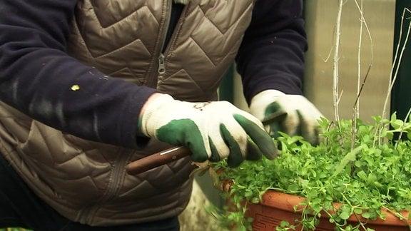 Vogelmiere wächst in einem Kübel