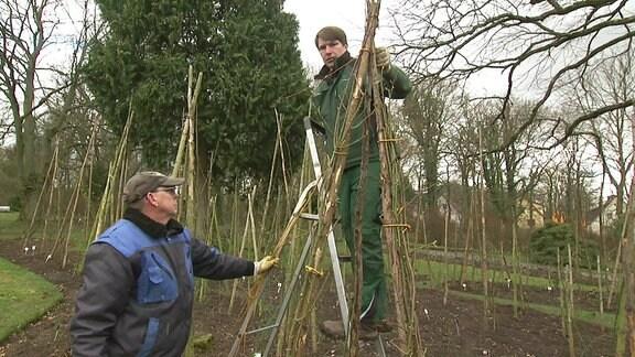 Zwei Männer befestigen Rosenranken an einer Rankhilfe.
