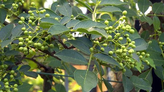 Baum mit Szechuanpfeffer