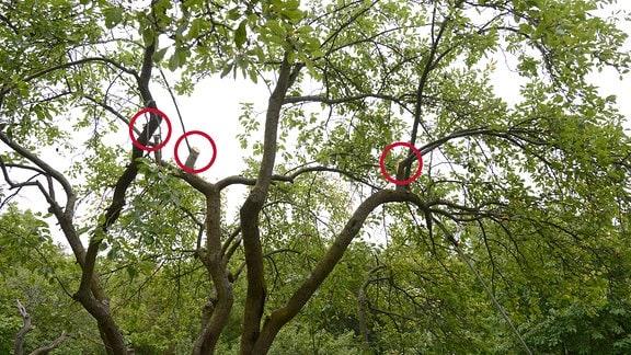 Zurückgeschnittene Baumkrone eines alten Pflaumenbaums