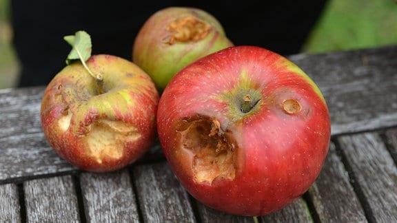 Äpfel mit Fraßspuren