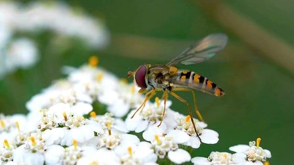 Schwebfliege auf einer Blüte