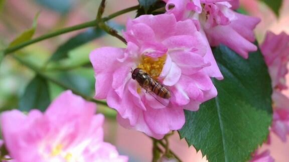 ein Insekt auf einer Rosenblüte