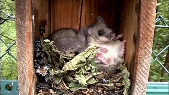 Siebenschläfer sitzt in einem kleinen Holzkasten