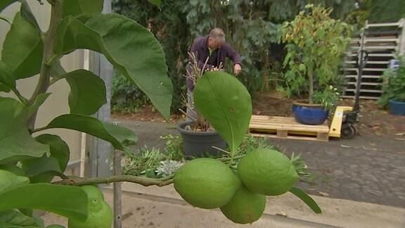 Zitruspflanze mit Zitronen in einem Gewächshaus mit geöffneter Tür und Blick nach draußen.