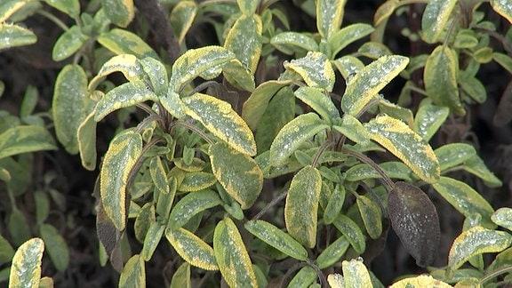 Salbei mit gelb-grünen Blättern