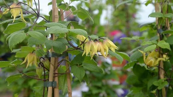 Gelbe, glockenförmige Clematisblüten