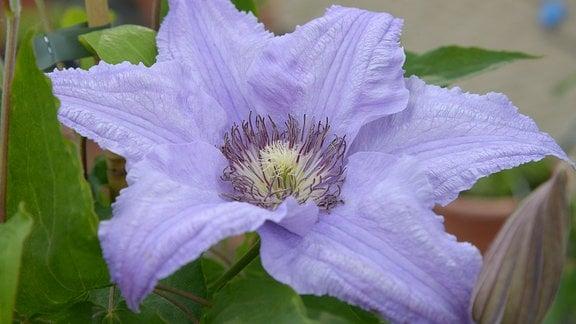 Große lila Blüte einer Clematis