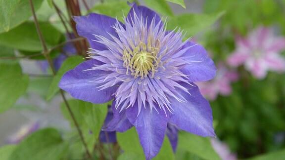 Blaue gefüllte Clematisblüte