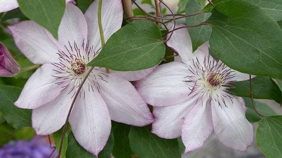 Leicht rosa blühende große Clematisblüten