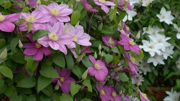 Viele Clematisblüten an einer großen Kübelpflanze