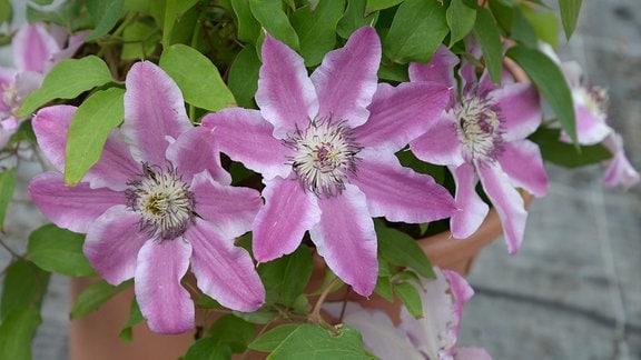 Rosa Clematisblüten mit einem weißen Rand