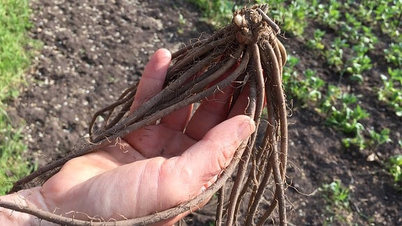 In einer Hand liegt eine Spargelpflanze mit langen Wurzeln