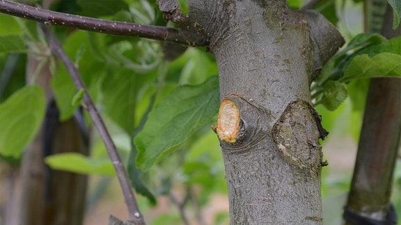 Bündig zum Baumstamm wurde ein Ast abgeschnitten