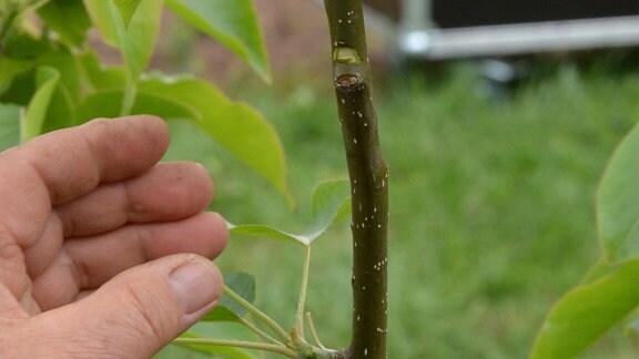 An einem jungen Stamm ist eine halbmondförmige Kerbe zu sehen.