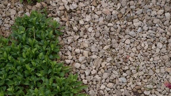 Hellbraune Steine liegen dicht um eine Pflanze in einem Beet.