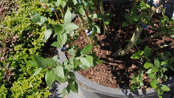 Ein Pflanzkübel aus Kunststoff mit einem Kulturheidelbeerstrauch, der Früchte trägt