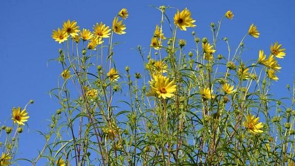 Blüten eine hohen kleinblütigen Sonnenblume