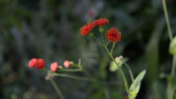 Hübsche rote Blüte der Emilia-Pflanze