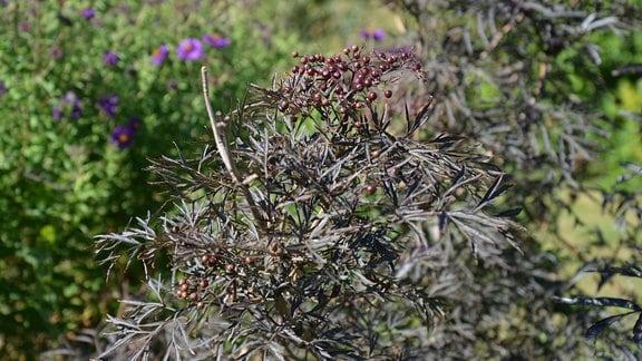 Dunkelblättrige Holunder-Pflanze.