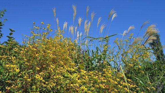 Gelbe Blüten des Sonnenhuts vor hoch wachsendem Gras