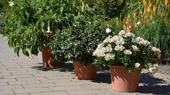 Mehrere Kübelpflanzen stehen in einer Reihe.