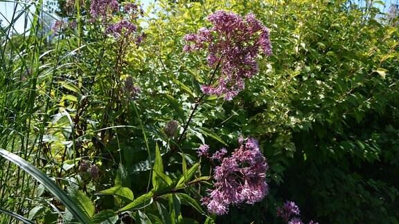 Hoch wachsende Pflanze mit lila Blüten-Dolde