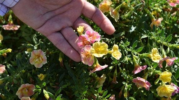 Eine Hand zeigt gefüllte, zart rosa-gelbe Blüten einer Calibrachoa.