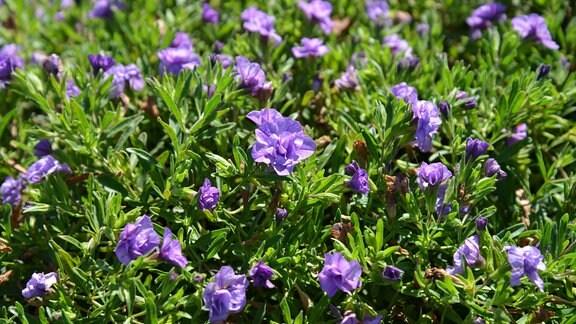 Blaue, gefüllte Blüten einer Calibrachoa.