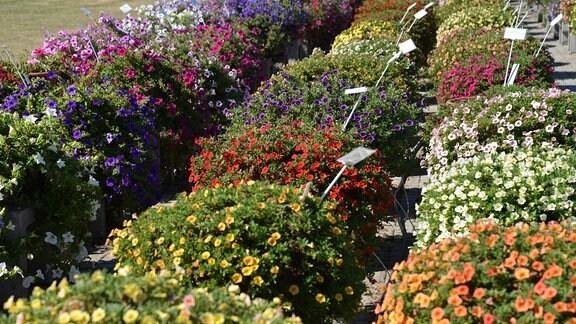 Viele Blumenkübel, die mit bunten Calibrachoa bepflanzt sind.