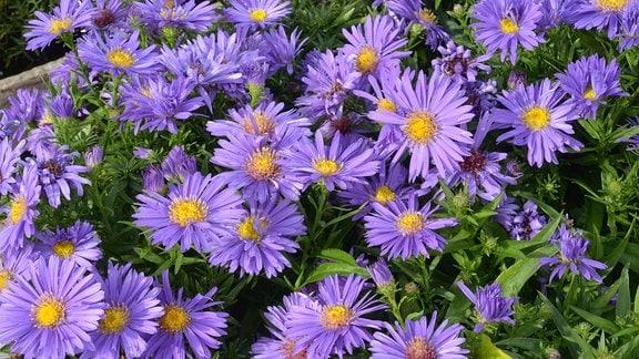 Blüten von lila blühenden Astern.