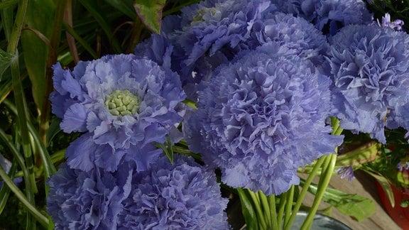 Blaue gefüllte runde Blüten der Scabiosa Caucasica