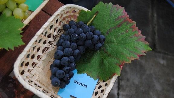 """Dunkelblaue Tafeltrauben der Sorte 'Venus' liegen mit einem Weinblatt und einem Zettel mit der Aufschrift """"Venus"""" in einem Körbchen"""