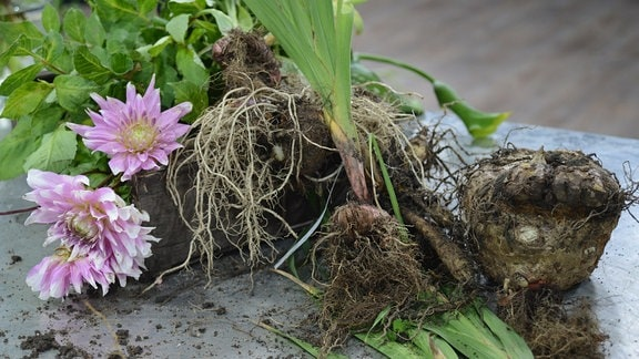 Rosarote Dahlienblüten und ausgegrabene Knollen liegen auf einem Tisch.