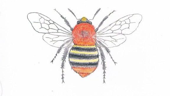 Zeichnung einer Ackerhummel